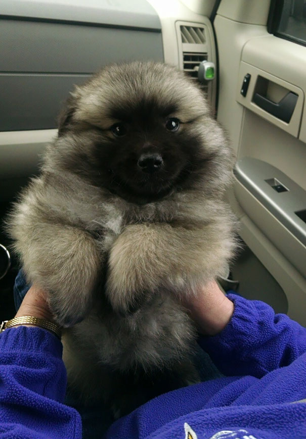 Dogs That Look Like A Bear Best Bear - 28 adorable dogs that actually look like tiny teddy bears