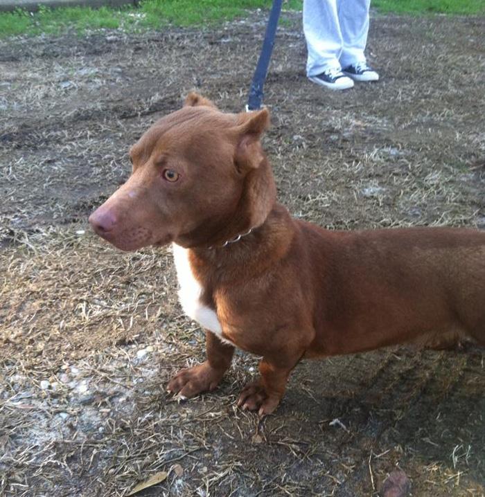 pitbull dachshund mix breed dog rami 3 Pitbull Dog Info
