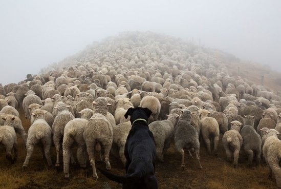 working-dog-photography-shepherds-realm-andrew-fladeboe-11
