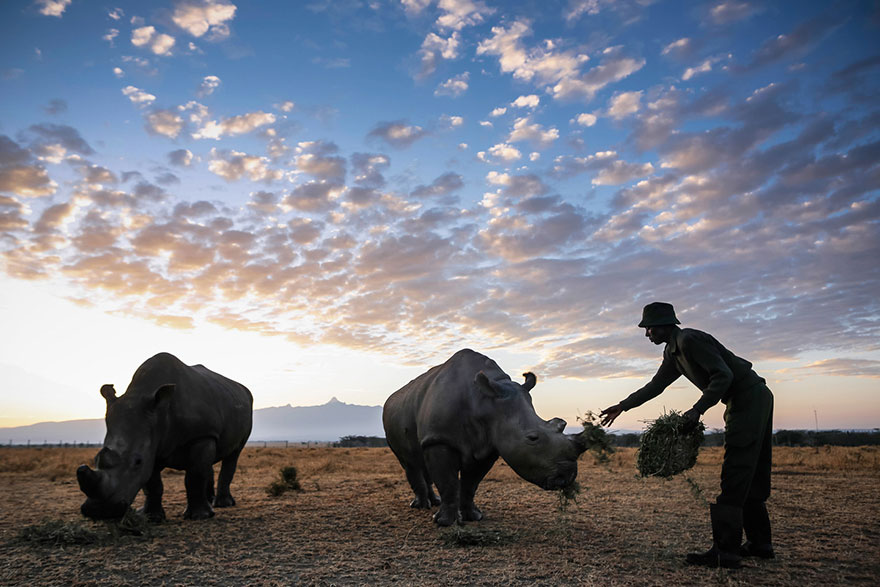 last-northern-white-rhinoceros-conservation-rangers-kenya-8