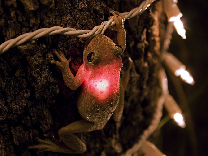 Cuban Tree Frog Eating A Lightbulb