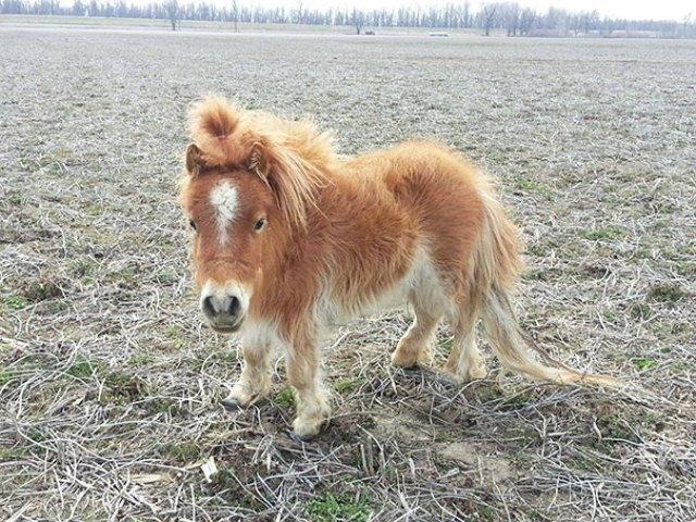 Just A Dwarf Mini Horse