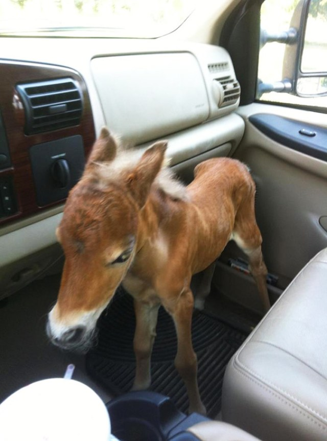 My Vet Friend Rescued A Abandoned Baby Mini Horse