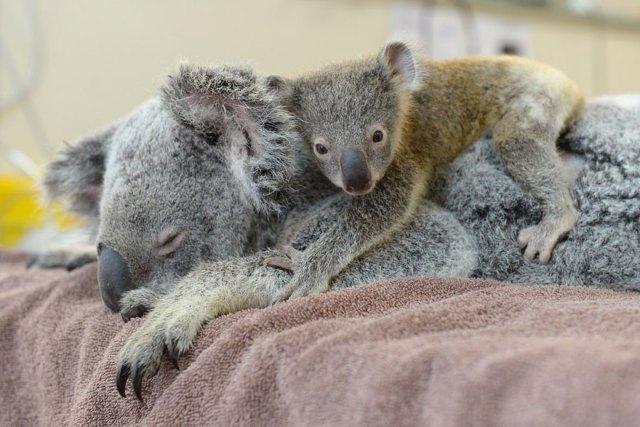 baby-koala-mom-surgery-australia-zoo-6