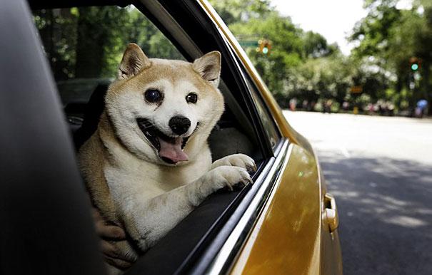 happiest-smiling-dog-shiba-inu-cinnamon-4
