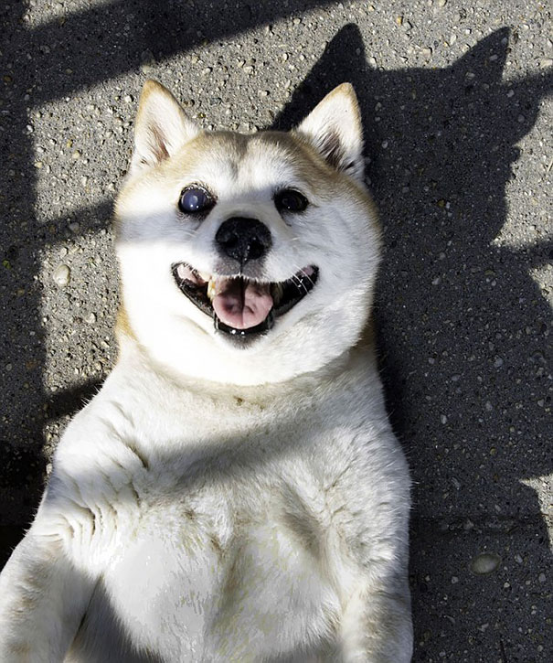 happiest-smiling-dog-shiba-inu-cinnamon-5