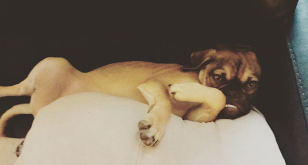 grumpy-dog-earl-puggle-meme-8