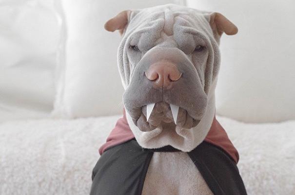shar-pei-dog-paddington-friend-annie-cat-5
