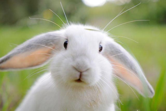 Portrait Of Lop Eared Rabbit