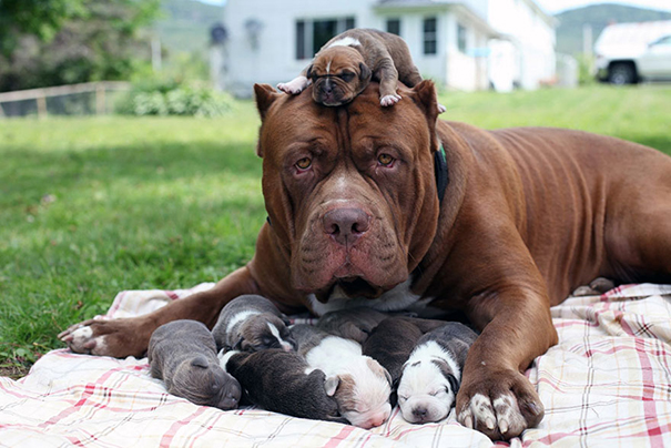 World's Largest Pitbull Hulk With His Puppies
