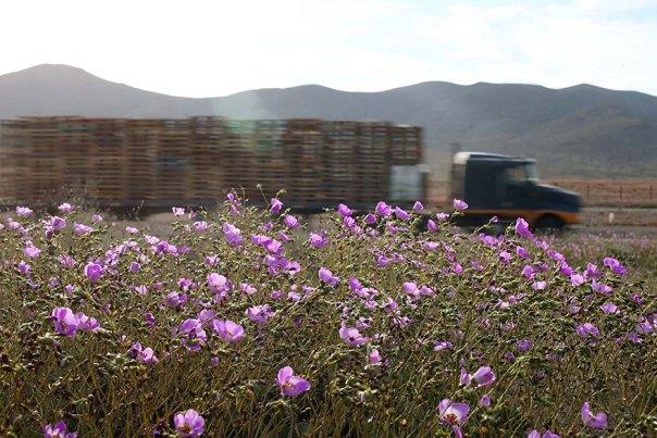 atacama-flowers-floración-mundos-seco-desierto-2
