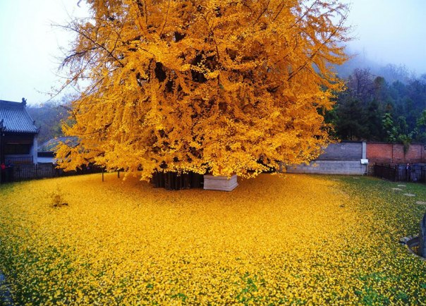 1400-old-ginkgo de árboles de color amarillo-deja-budista-temple-china-1