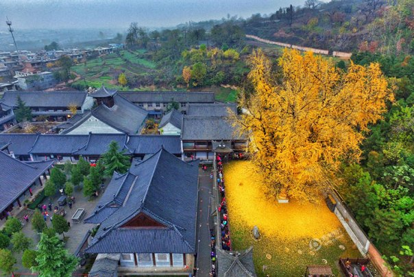 1400-old-ginkgo de árboles de color amarillo-deja-budista-temple-china-2