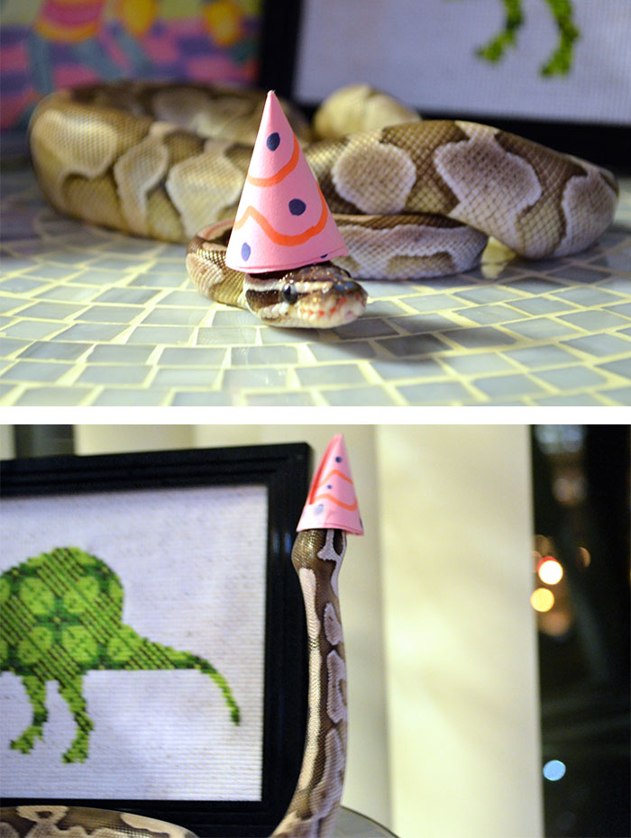 Today Was My Ball Python's First Birthday, So I Made Him A Little Party Hat