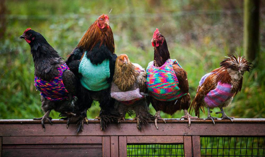 knits-tiny-chicken-jumpers-battery-hens-nicola-congdon-cornwall-6