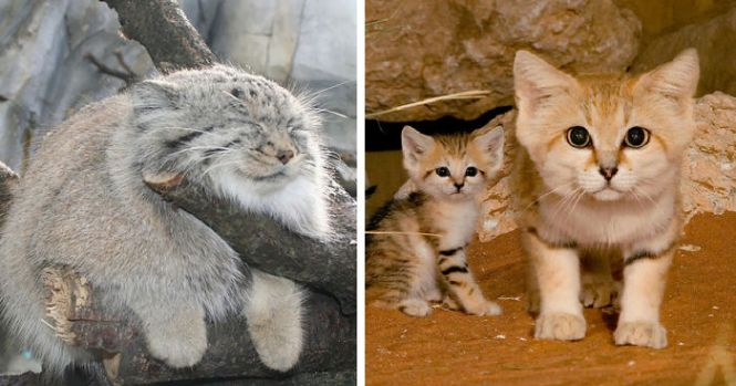 10 largest domestic cat breeds some are huge