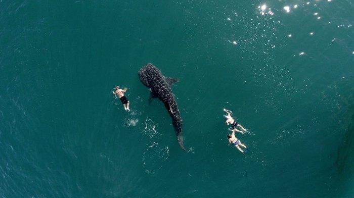 Whale Shark And Tourists