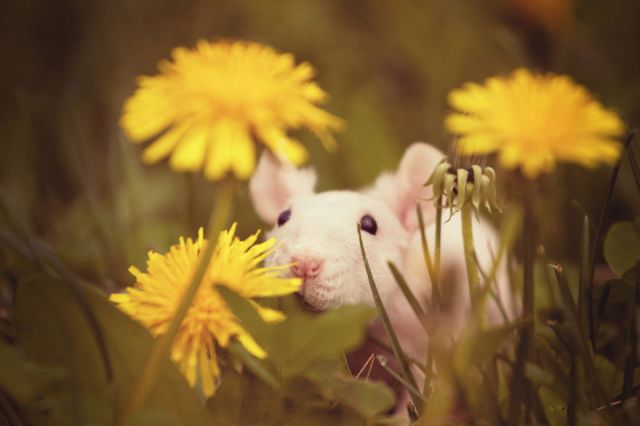 Rat Smelling Flowers