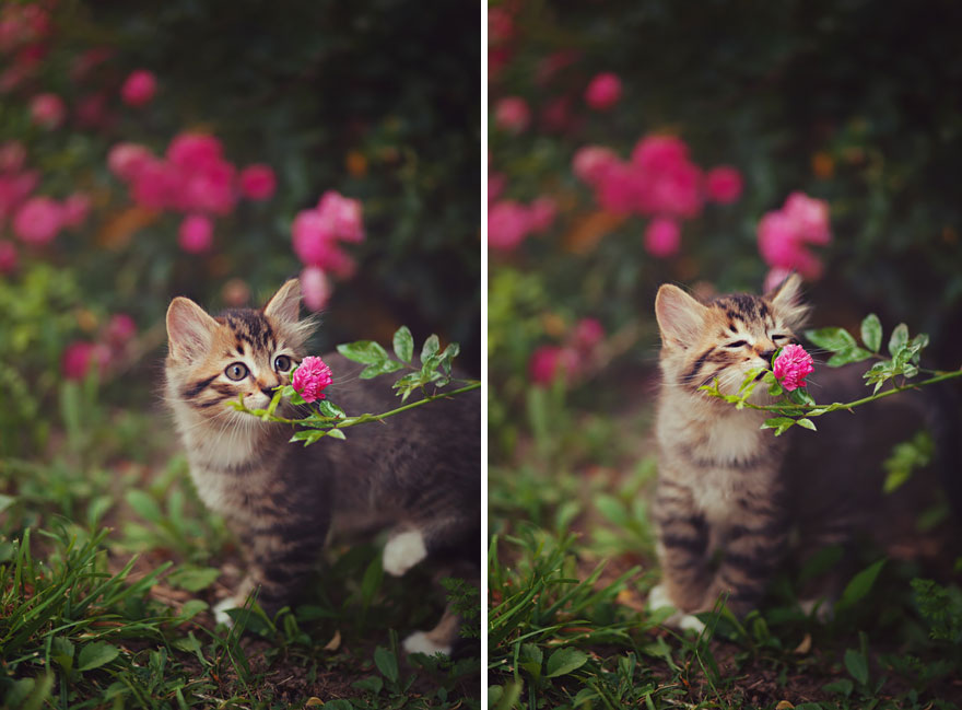 Kitten Smelling Flowers