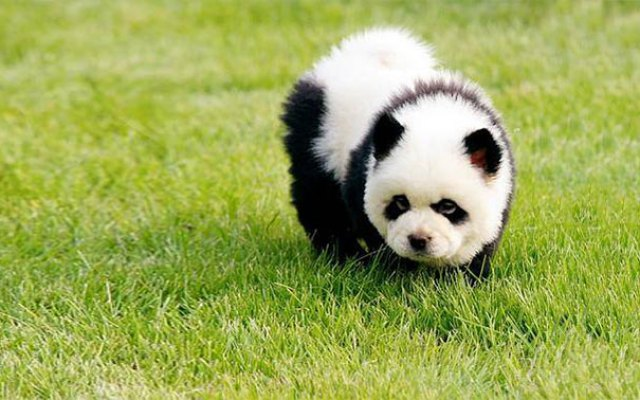 Chow Chow Puppy Panda
