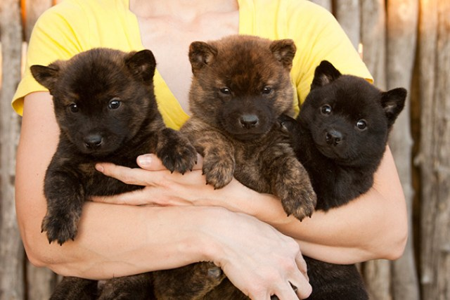 Kai Ken Haru Puppies