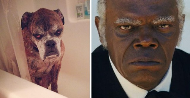 This Dog Looks Like Samuel L. Jackson
