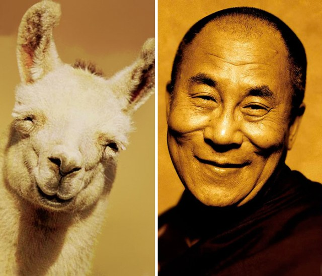 Happy Llama Looks Like Happy Dalai Lama
