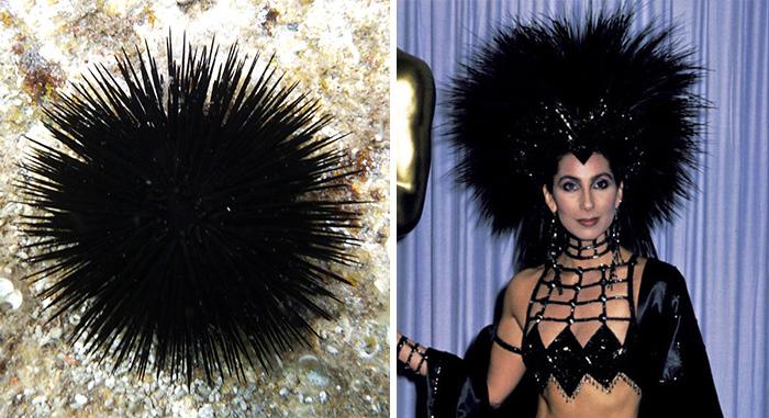 Sea Urchin Looks Like Cher