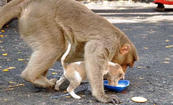 monkey-adopts-puppy-erode-india-10