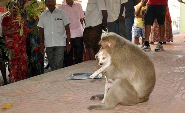 monkey-adopts-puppy-erode-india-9
