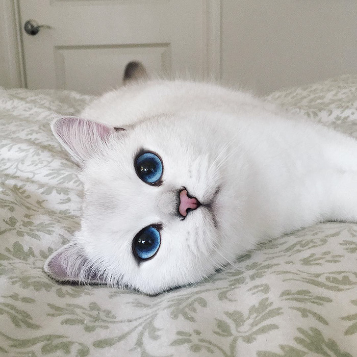 most-beautiful-eyes-cat-coby-british-shorthair-14