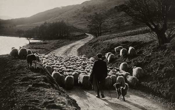 Una oveja hombre hatos con la ayuda de sus collies en Escocia de 1919