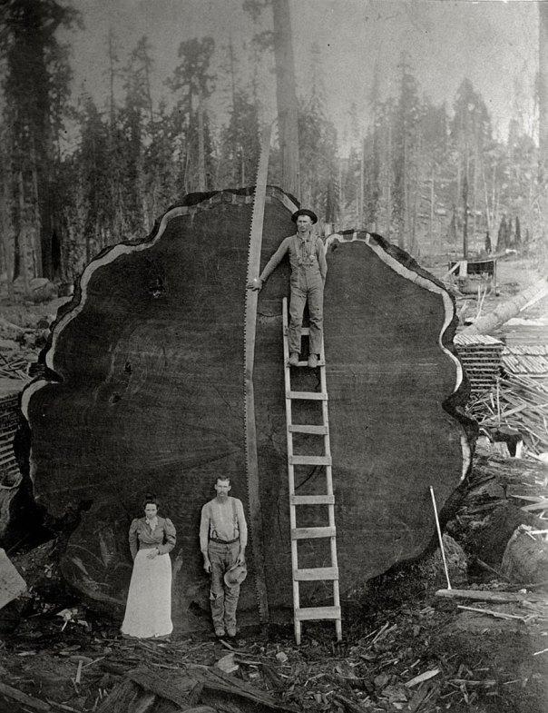 Los madereros y La secoya gigante Mark Twain talados En California, 1892