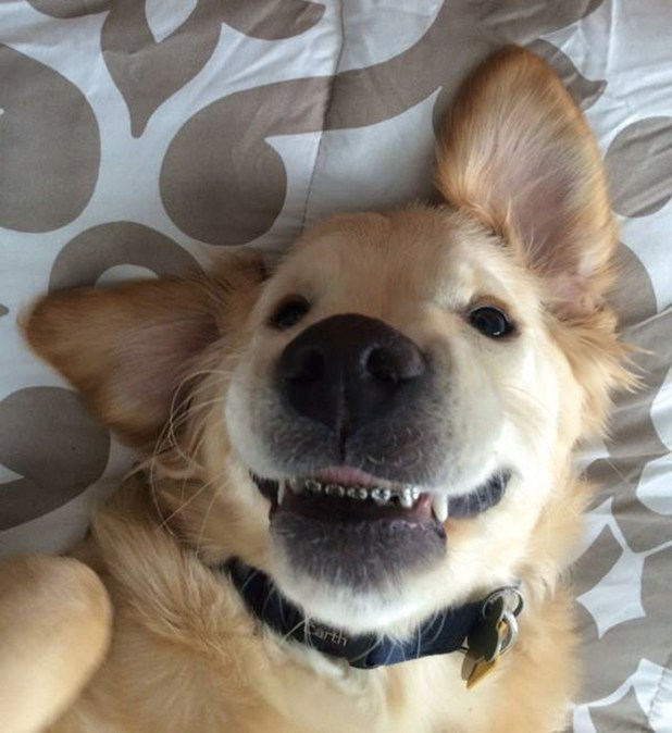 dog-braces-golden-retriever-teeth-problems-wesley-molly-moore-14