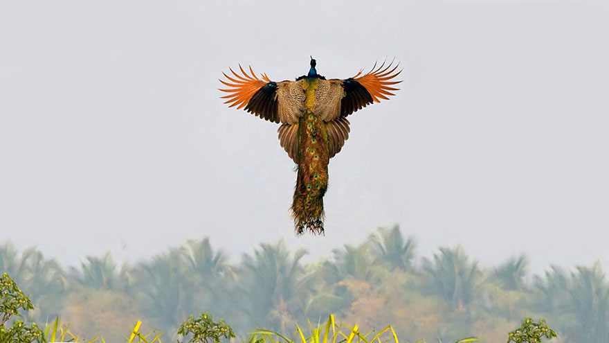 flying-peacock-4