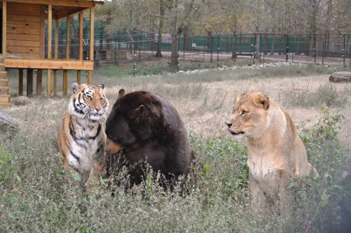 lion-tiger-bear-unusual-friendship-animal-shelter-georgia-5