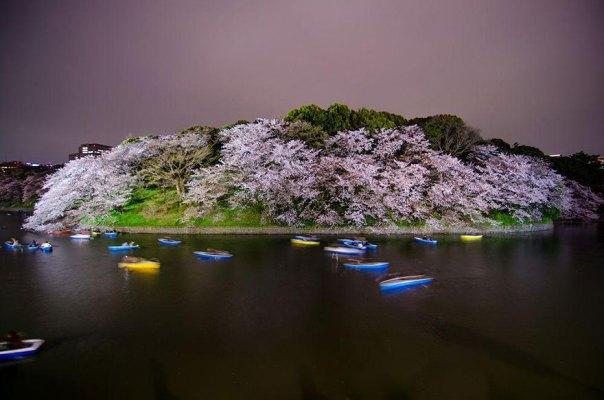 primavera, Japón y la cereza-flores-national-geographics-19
