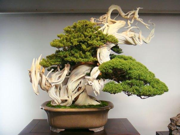 Este árbol Bonsai está sobre 800 años de antigüedad