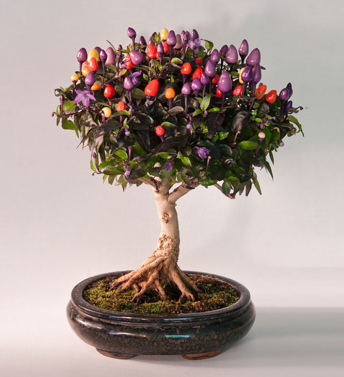 Bonsai Chile Tree