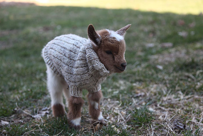 baby-goats-knit-sweaters-sunflower-farm-11