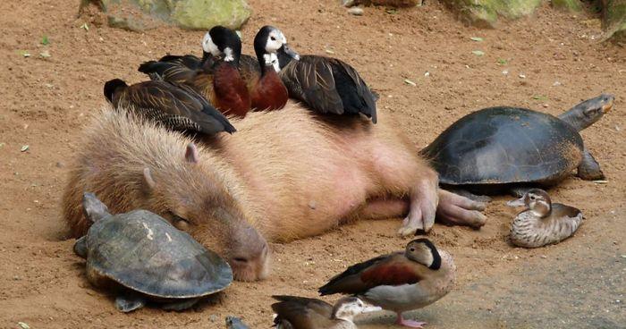 https://i2.wp.com/static.boredpanda.com/blog/wp-content/uploads/2016/04/capybara-unusual-animal-friendship-fb__700-png.jpg