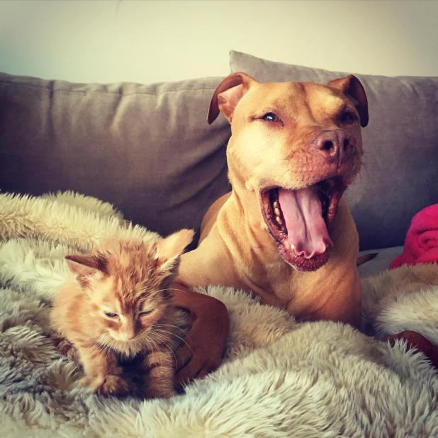 dog-likes-cats-ginger-pit-bull-bubba-loves-rue-12
