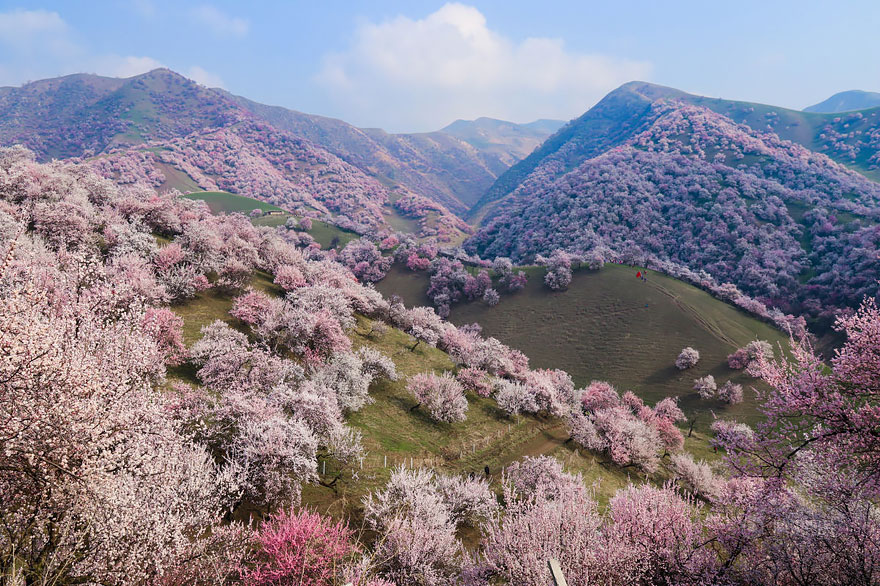 blooming-apricot-valley-yili-china-1