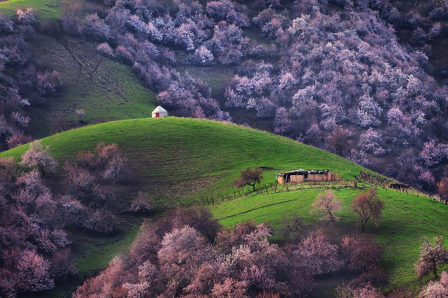 blooming-apricot-valley-yili-china-24