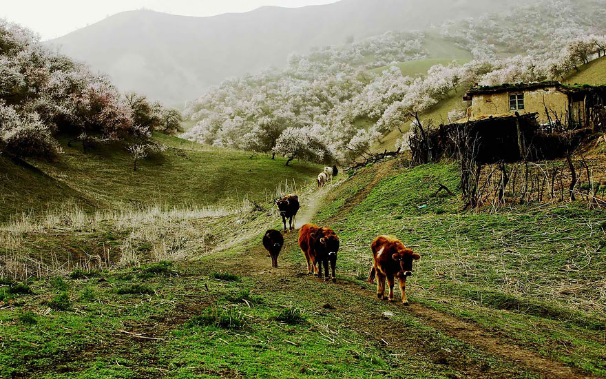 blooming-apricot-valley-yili-china-8