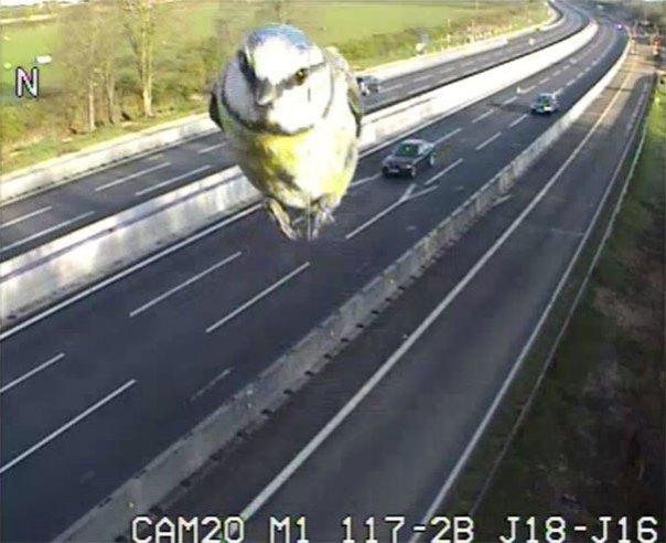 el exceso de velocidad-pájaro-azul-tit-tráfico-cámara-canada-1