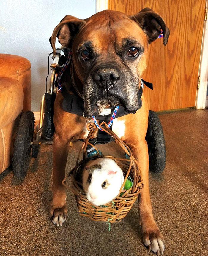 dog-guinea-pig-friends-boxer-rex-smores-11