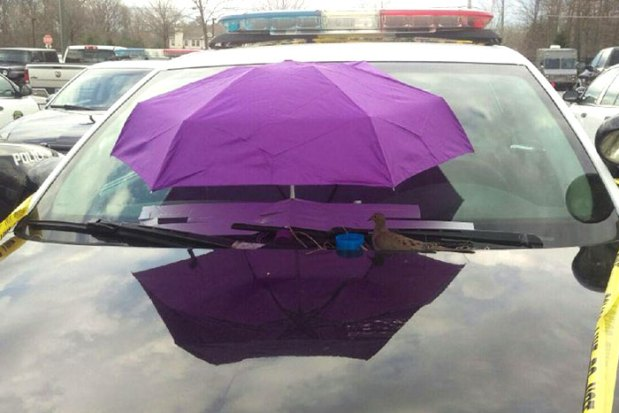 police-bird-umbrella-dove-nest-car-hood-parma-3