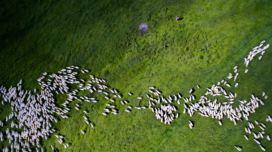 2nd Prize Winner – Category Nature Wildlife: Swarm Of Sheep