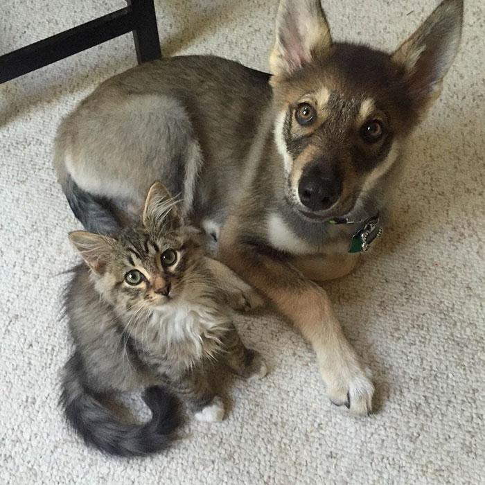husky-dog-picks-shelter-cat-friendship-raven-woodhouse-christina-13